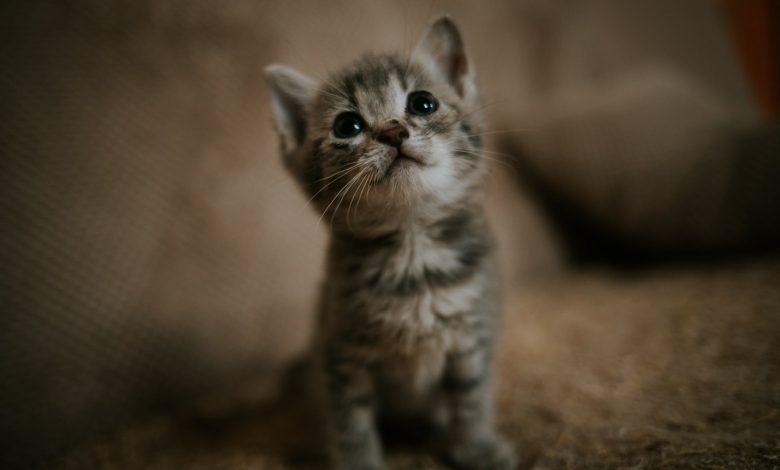 إطعام القطط الصغيرة