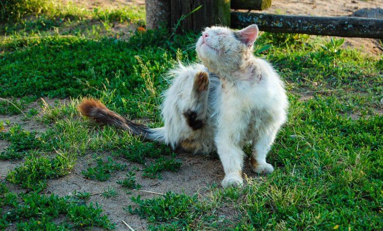 الأمراض الجلدية عند القطط