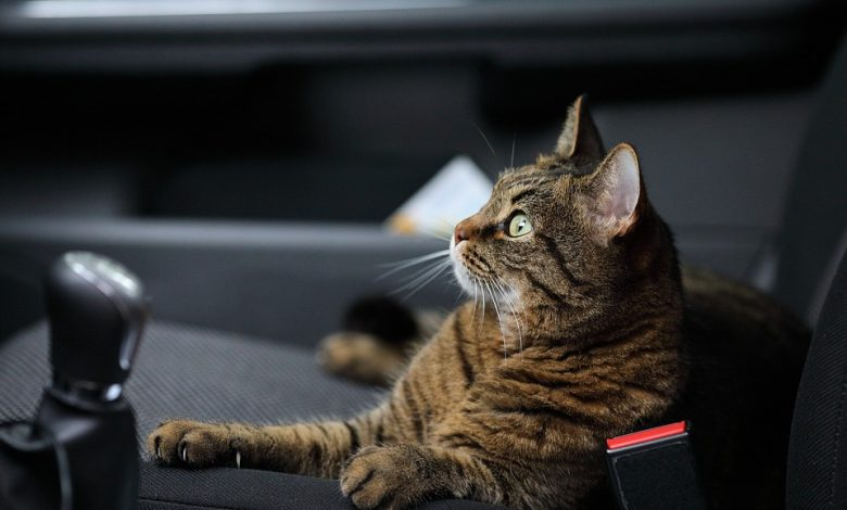 السفر مع القطط