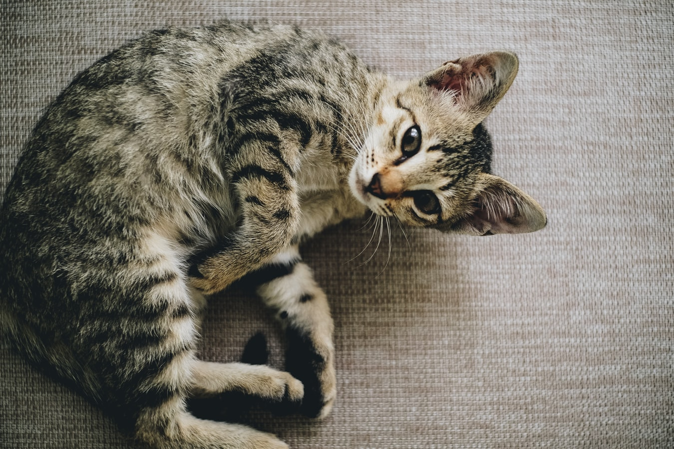 القيء عند القطط تفسيره والمخاطر الصحية التي يسببها التعرض له عدة مرات