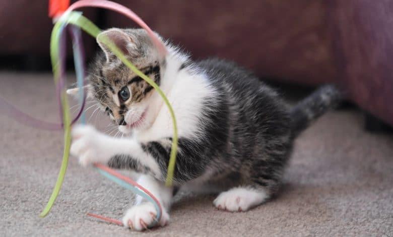 اللعب مع القطط