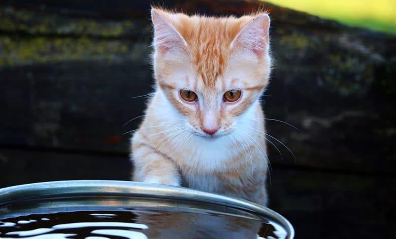 شرب القطط للماء