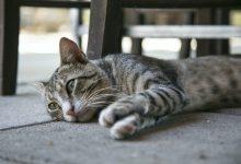 فقدان الشهية عند القطط