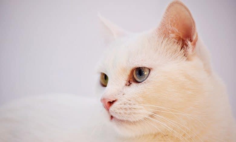 قط أنغورا تركي