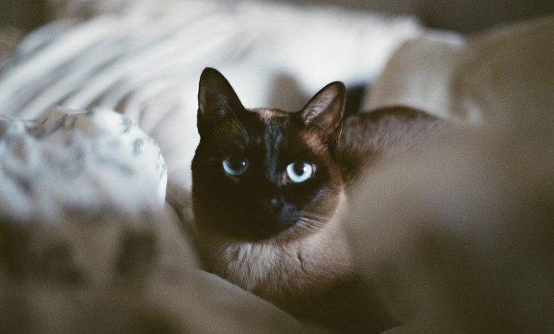 قط تونكينيز