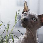 قط فرعوني