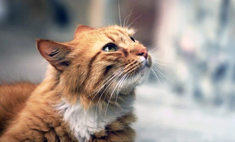 قط كيمريك
