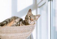 إلتهاب الغدد الشرجية عند القطط