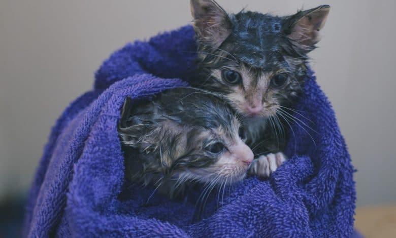 تنظيف القطط