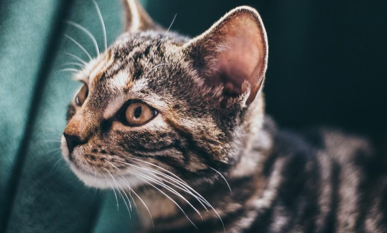 جرب الأذن عند القطط