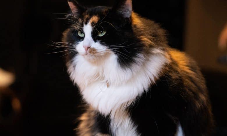 حصوات المسالك البولية عند القطط