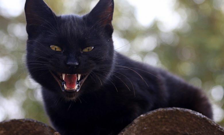 اسنان القطط