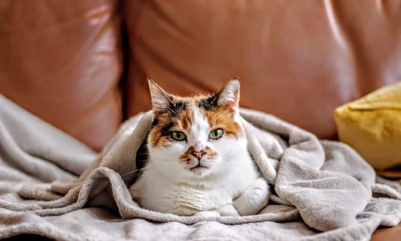 إطعام قطة مصابة بالسكري