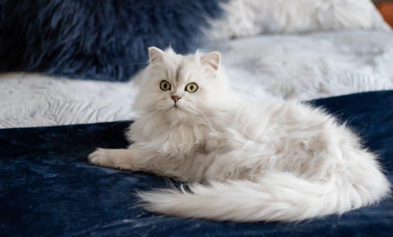 القطط البيضاء