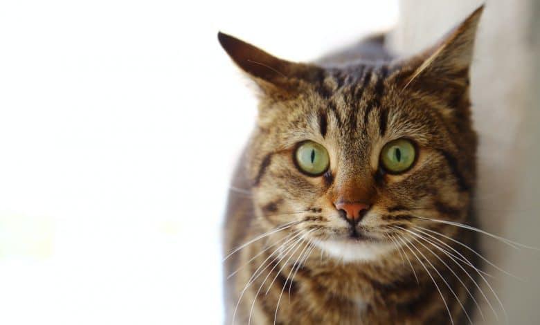 القطط ذات العيون الخضراء