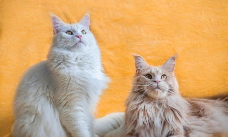القطط طويلة الشعر