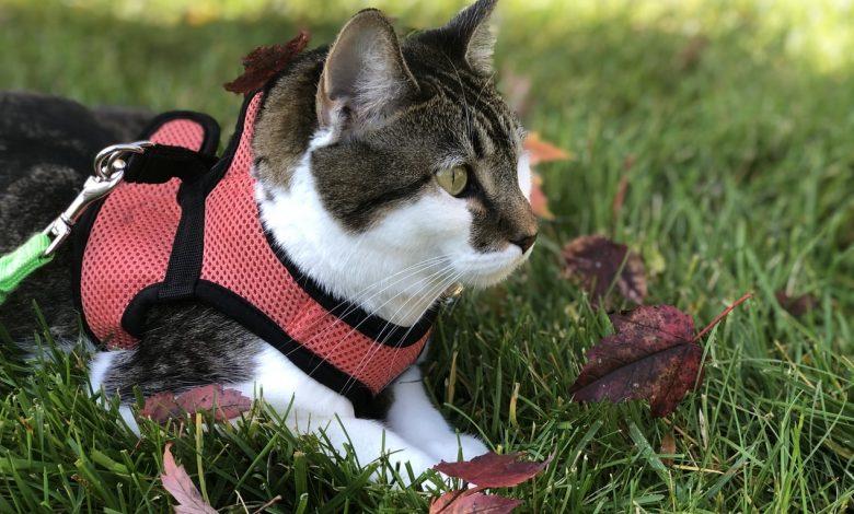 حزام القطط