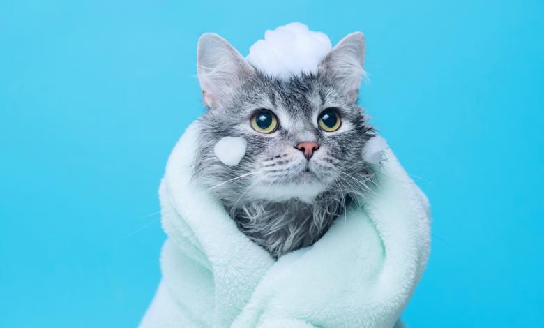 شامبو القطط