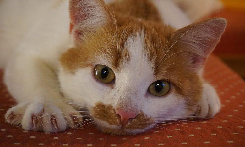 قص أظافر القطط