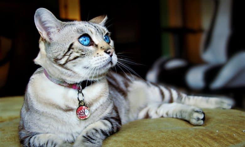 قطط ذات العيون الزرقاء