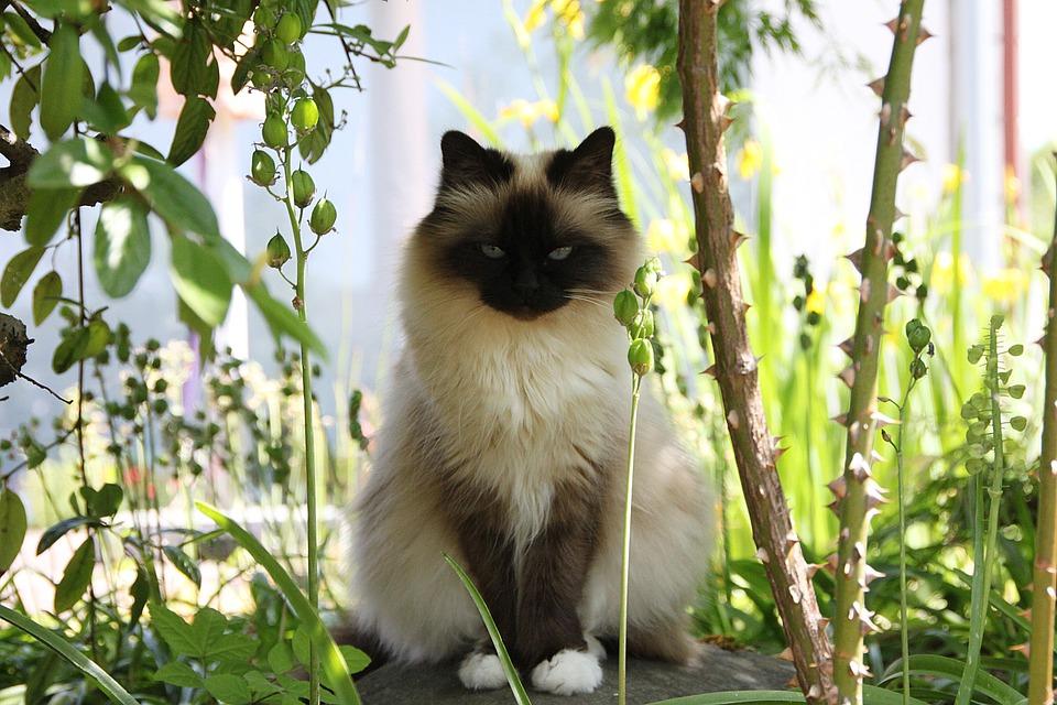 قط بورمي