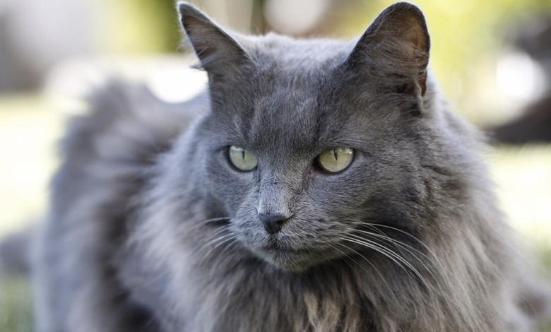 قط نيبيلونج