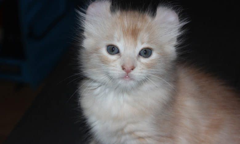 أصغر القطط في العالم