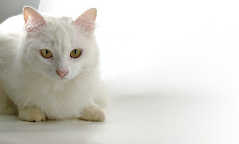 القطط الرومي