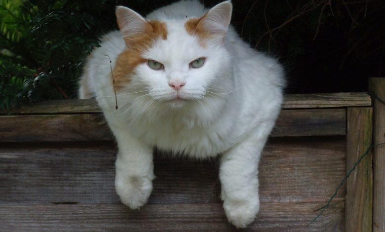 قط الفان التركي