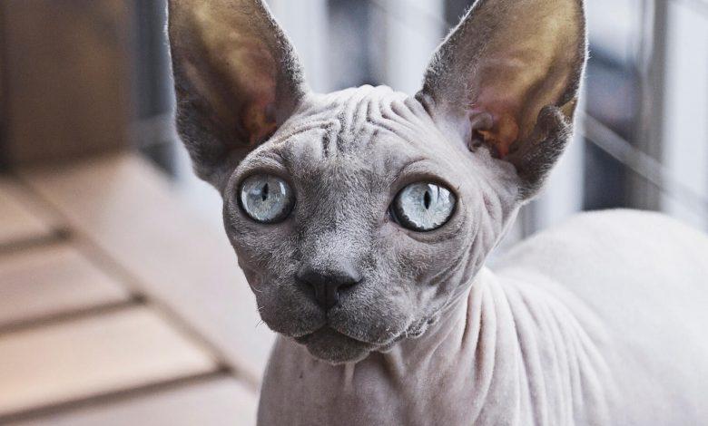 قط بيتربالد