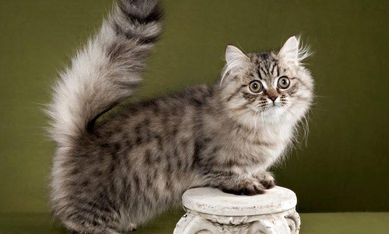 قط نابليون