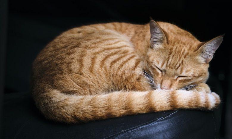 أوضاع نوم القطط