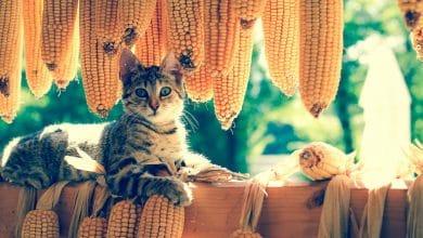 الذرة للقطط