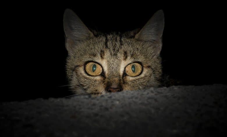 كيفية إخراج قطة من مخبأها