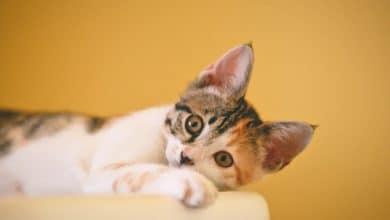 التسمم الغذائي عند القطط