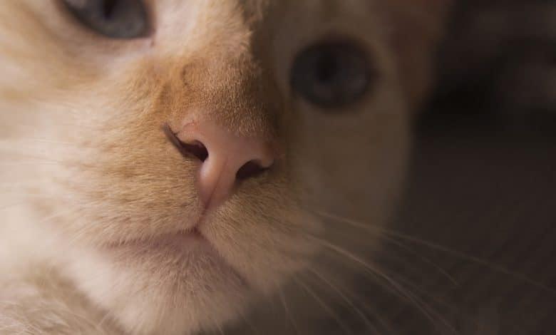صعوبة التنفس عند القطط