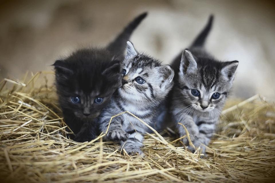ولادة القطط